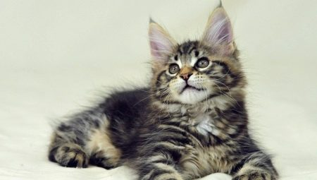 Recommendations for the maintenance of Maine Coon