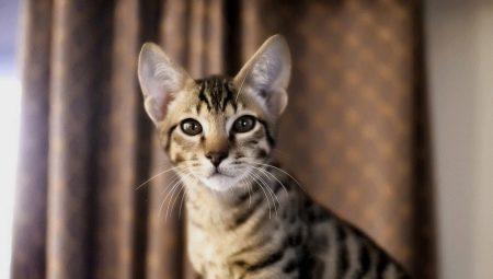 Do světa velkých koček nahlédneme dnes ve 20.00 na Prima ZOOM Jak od sebe.