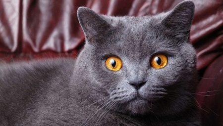 כמה שנים חיות חתולים בריטיים וחתולים?