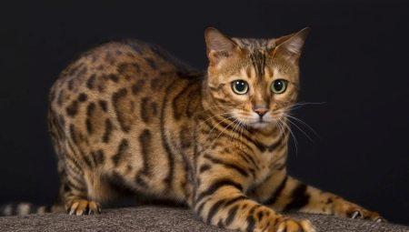 Bengal Katt Vikt