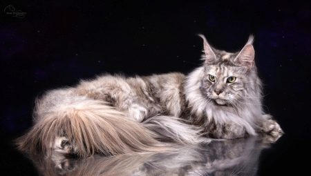 All about marble Maine Coons