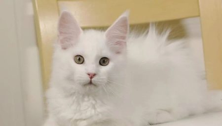 White Maine Coons: color and content features
