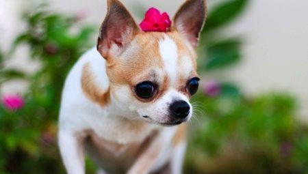 Chihuahua 77 Gambar Spesies Baka Keterangan Jenis Anjing Apa Yang Kelihatan Seperti Anjing Dan Anjing Dewasa Ulasan Pemilik