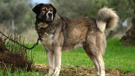 Görög juhászkutya: kutyafajták leírása és feltételei