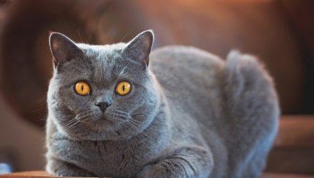 Velika guza i sise i maca