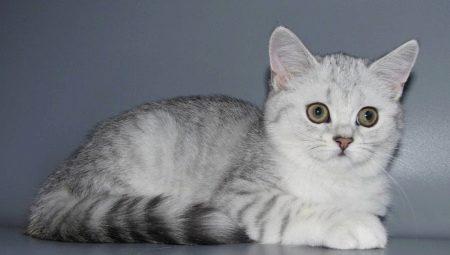1060+ Gambar Hewan Kucing Bersuara Gratis Terbaik
