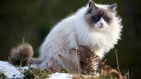 fotografije s bijelim mačkama