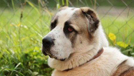 Saiz Alabai 7 Gambar Berat Badan Ketinggian Dalam Layu Alabai Dewasa Dan Anak Anjing Jadual Berat Anjing Mengikut Bulan