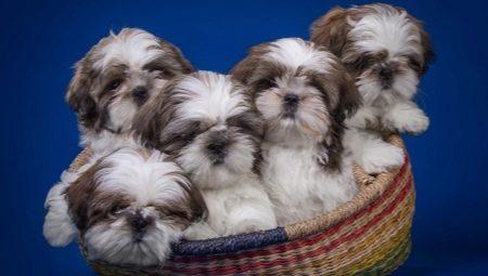 29+ Anjing shitzu hitam putih terbaru