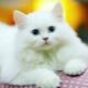 White cats: description and popular breeds