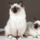 Burmese cats: features, choices and care