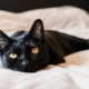 Bombay cats: characteristics, choices, rules of care
