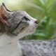 Brazilian Shorthair Cat: Breed Description and Content Features