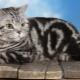 חתולים טאבי הבריטי: מגוון תוכן