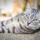 חתולים מפוספסים בריטים: איך לחפש, איך להכיל שם?