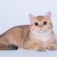 חתולי הזהב הבריטי: תכונות צבע ותיאור גזע