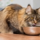 What and how to feed Maine Coons?