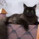 Black Maine Coon: types and details of care