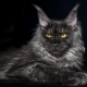 Smoky Maine Coon: color options and content