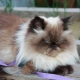 Himalayan cats: characteristics, varieties, choices and rules of care