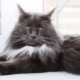 The nature and habits of the Maine Coon