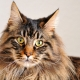 The history of the breed of the Maine Coon