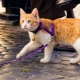 How to wear a harness on a cat?