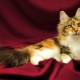 How to call a Maine Coon cat?