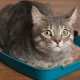 How to train an adult cat to the tray?