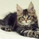 How do Maine Coon kittens grow by month?