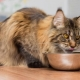 How to choose food for Maine Coon?