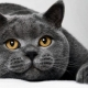איזה סוג של מזון מתאים לחתולים של גזע בריטי?