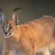 Caracals: breed characteristics, home care rules