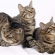 Chinese cats: types and nuances of content