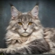 Nicknames for the Maine Coon: how to call a boy?