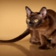 American Burmese Cats: description and features of care