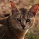 Chausi cats: description and content