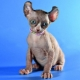 Cats of elf breed: description, character, care and feeding