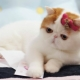 Cats snoopy: what is the breed and the reasons for their popularity