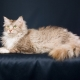Laperm: description of cats, their character and features of the content