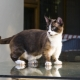 Munchkin: a description of the breed of cats, types and content