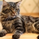 Maine Coon: breed description, maintenance and care