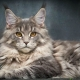 Metis Maine Coon: features, varieties and recommendations for the content