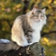 Norwegian Forest Cat: description, maintenance and breeding
