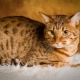 Ocicat: description of the breed of cats and care
