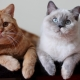 חתולים בריטים