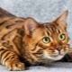 Description, nature and content of toyger cats