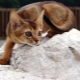 Description of the nature and habits of the Abyssinian cats