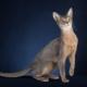 Description and content of Abyssinian cats blue color