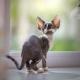 Description and content of cats Devon Rex